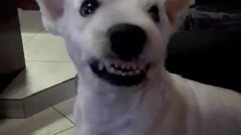 Irritated dog appears to have evil smile