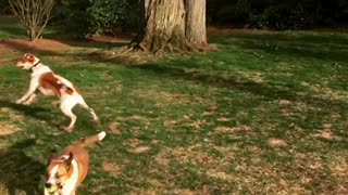 Collab copyright protection - lemon beagle catch fail - Video