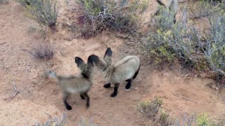 Cute Baby Bat Eared Foxes Playing