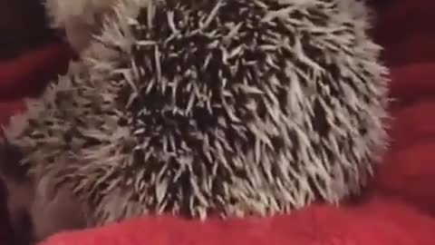 Hedgehog waiting on the bed for some snacks