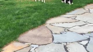 Dogs playing with each other in lawn
