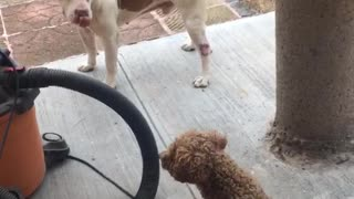 White dog get scared of brown small dog when it barks