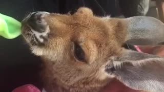 Feeding Kangaroo - Video