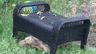 Turtle with a bench on back - Video