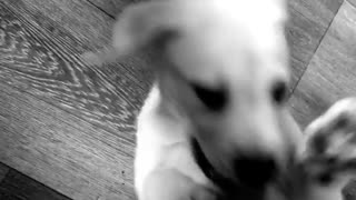 Puppy enjoys being tickled  - Video
