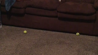 White french bulldog plays fetch with nerf balls shot into couch - Video