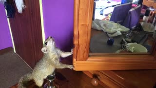 Squirrel bewildered by her mirror reflection