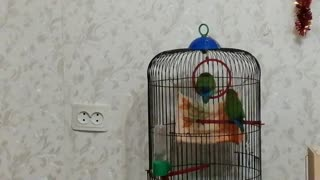 These parrots live in my house.