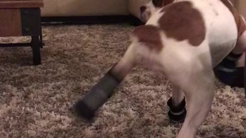 Boxer puppy dances in her new booties