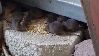 Wild Mice Love Breakfast!  - Video