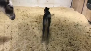 New baby donkey so happy moving around his mother