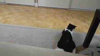 Cat with favorite Toy - Video