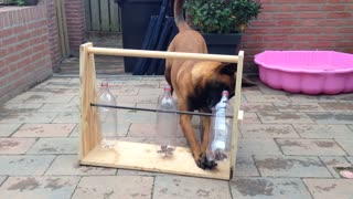 Clever dog figures out bottle game for treats - Video