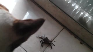 My dog fights with crab - Video