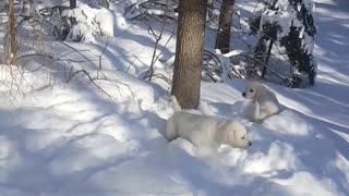 Puppies Play in Powdery Snow