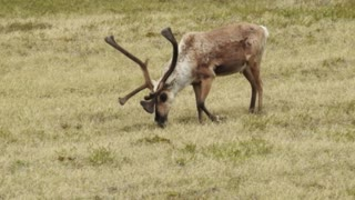 Bull Caribou Scratches Back Paw with Antler