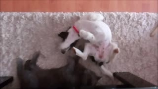 Cat and puppy playing on carpet  - Video