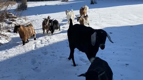 Happy goats on daily walk