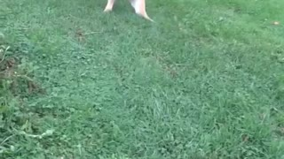 Dog playing with balloon tied to it