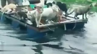 save animals from flood disaster