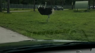 Dancing Ostriches  - Video