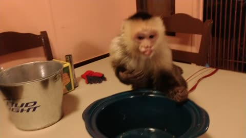 Monkey Attacks Crickets Then Crickets Attack Monkey