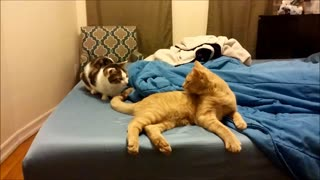 Couples therapy for cats not going so well - Video