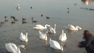 My friend and swans! - Video