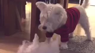 Westie Meets New Puppy Addition For The First Time - Video