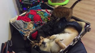 Holiday-loving pets ready to go on vacation - Video