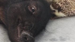 Hedgehog Puts In The Work To Wake Up Sleeping Pig - Video