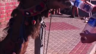 Camel Chugs Two Bottles of Water