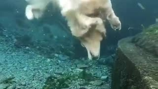 Diving dog incredibly fetches brick from ocean floor