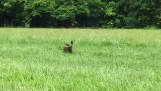 Small brown dog running in grass field