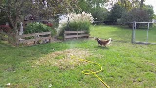 Collie Goes Crazy For Sprinkler - Video