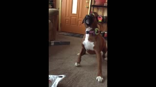 A Dog Barking On A Vacuum Cleaner - Video