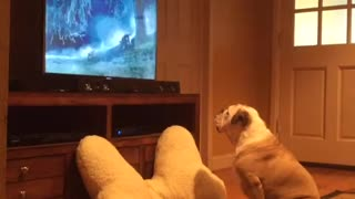 Bulldog Inglés adora ver comerciales de animales en TV - Video