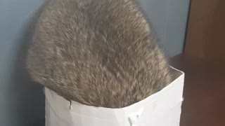 mischievous raccoon falls out of box