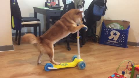 Talented Shiba Inu learns how to ride scooter