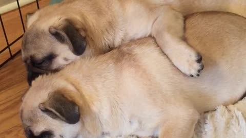 Napping pug puppies loudly snore while cuddling