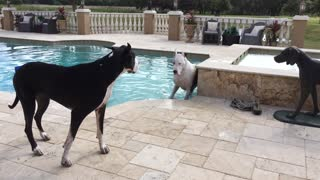 Two Great Danes wrestle after a swim