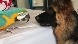 German Shepherd & parrot share unlikely animal friendship