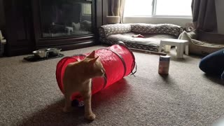 Cat Does Obstacle Course