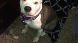 Pitbull Chirps At Owner And Sounds Like A Monkey - Video