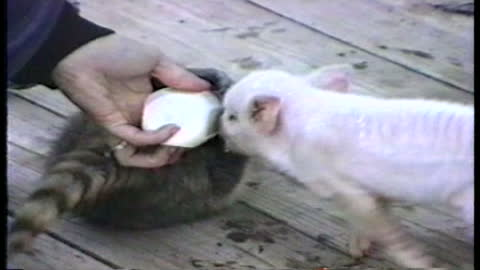 Baby Pig And Raccoon Have Adorable Battle Over Mom's Milk Bottle