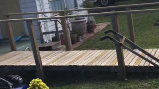French bulldog chases water - Video