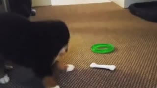 Playful Puppy Plays Hot And Cold With Toy Bone