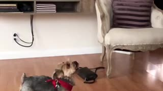 Small brown dog in red harness jumps up slow motion high five - Video
