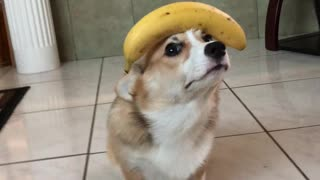Good Doggo Balances Banana