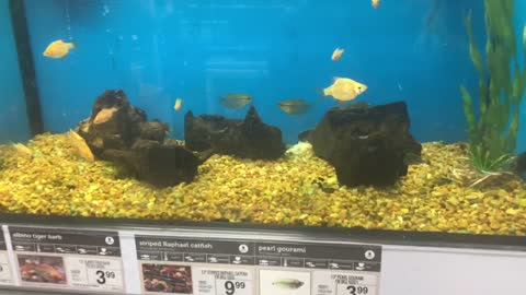 Fish caught kissing in a pet store